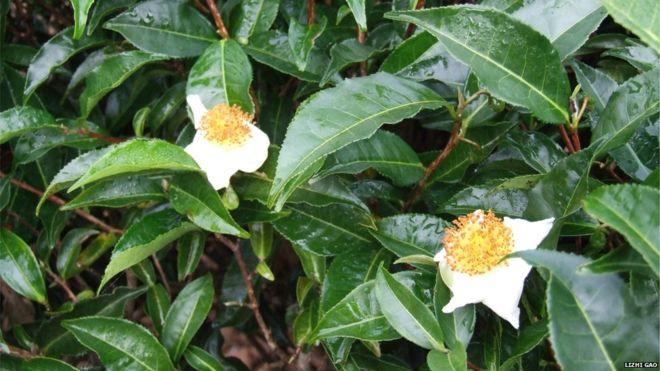 Ученые расшифровали геном чая, отвечающий завкус и запах